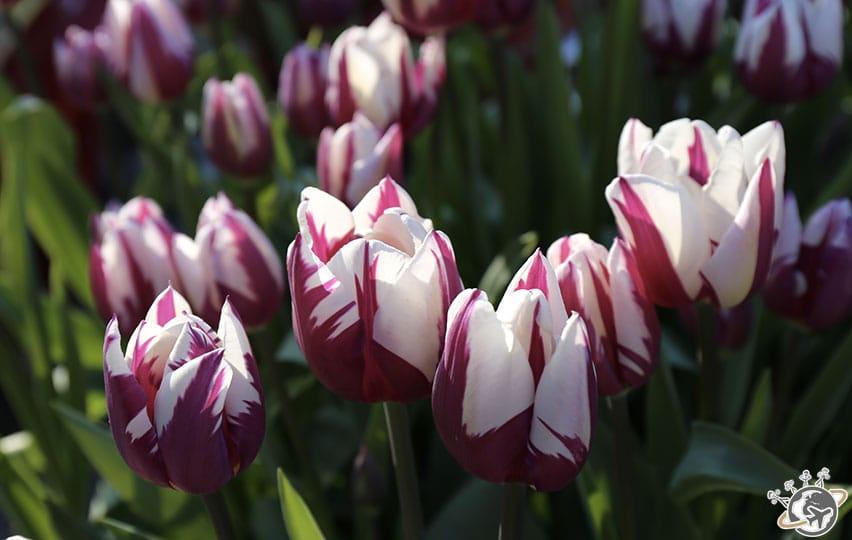 Les tulipes de Rembrandtplein