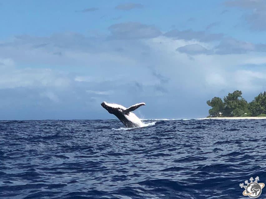 la merveilleuse baleine à bosse