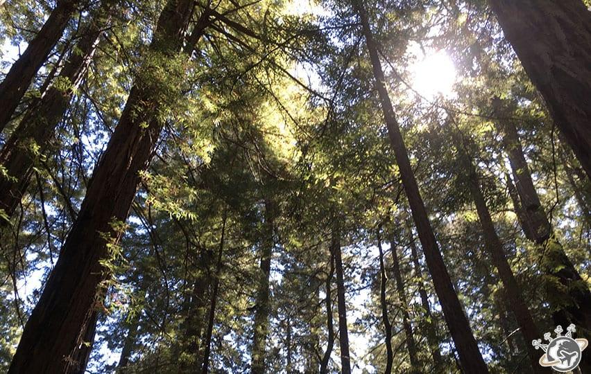 Ils sont bien grands les séquoias de muir woods près de San Francisco