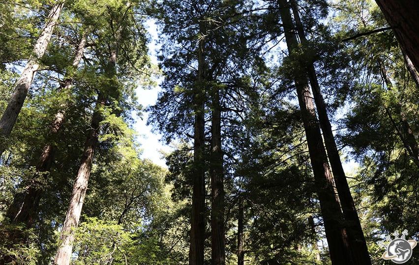 Les magnifiques sequoias de muir woods près de San Francisco