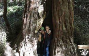 On peut se cacher dans les troncs des arbres à Muir Woods près de San Francisco