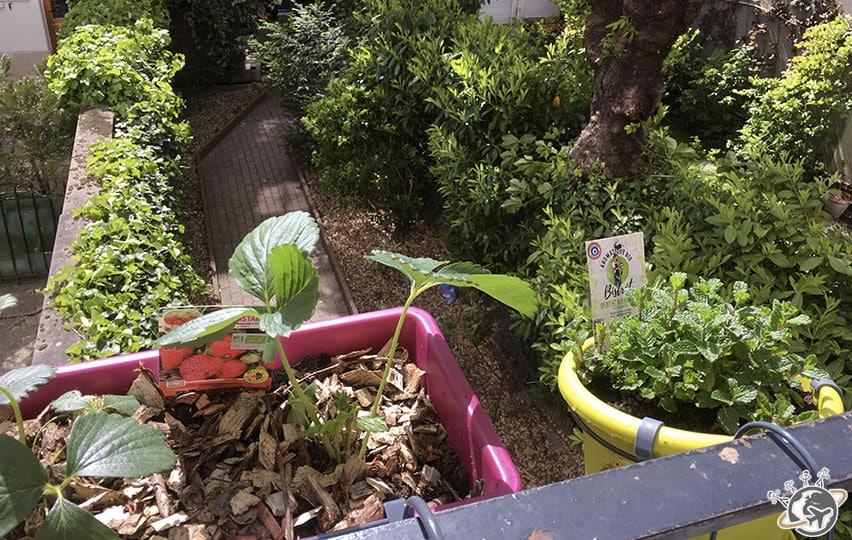 Les jardinières sont au balcon : Fraises et menthe