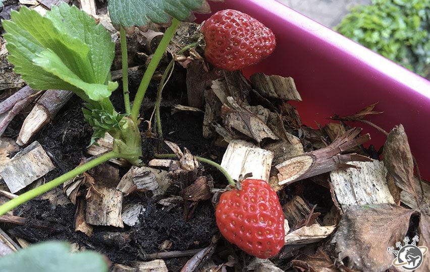 Les différents stades de floraison de la fraise