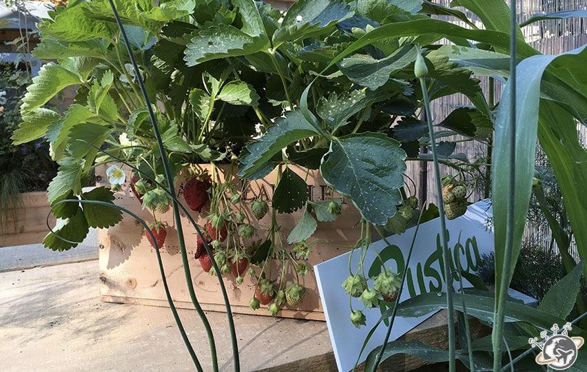 Les fraises de Rustica