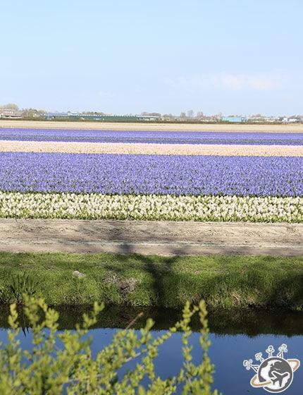 Les champs de tulipes en face de Keukenhof, pas mal non plus