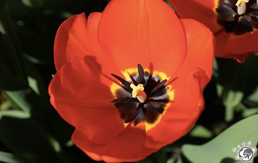 Les fleurs rouges de Keukenhof