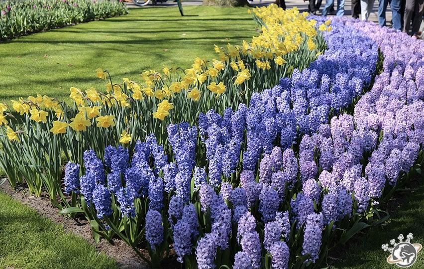 Les jolies fleurs violettes et jaunes de Keukenhof