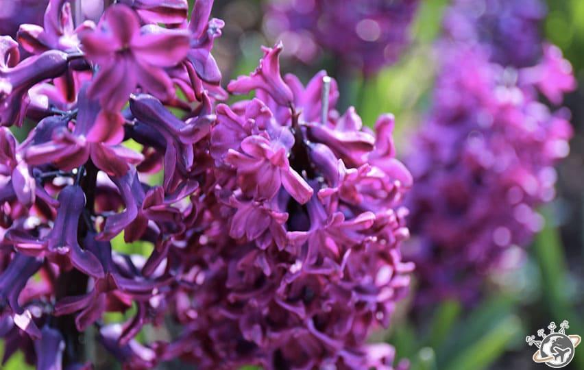 Une belle violette en macro à Keukenhof