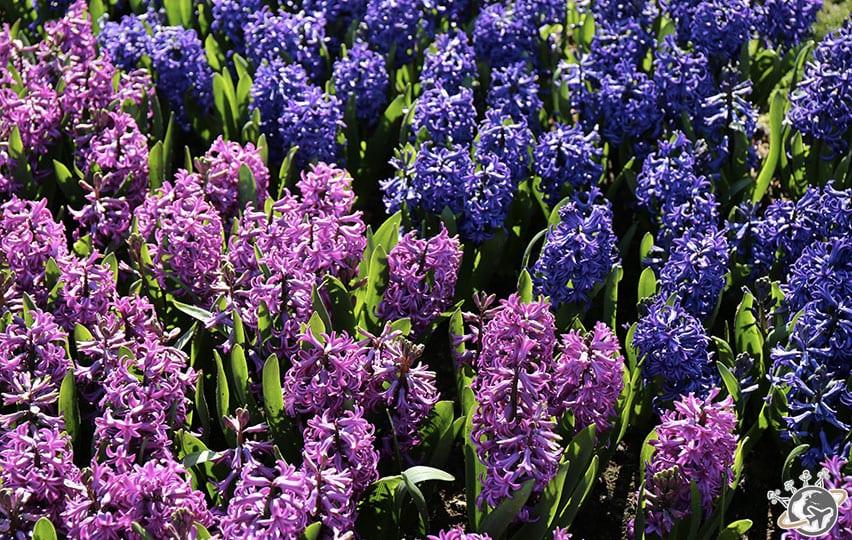 Les jolies fleurs violettes de Keukenhof