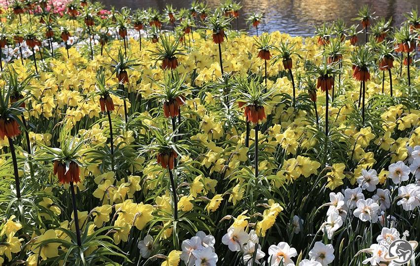 Les fleurs jaunes de Keukenhof