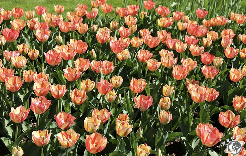 De bien belles fleurs orange à Keukenhof