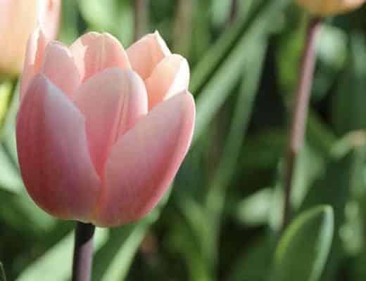 Une jolie fleur à Keukenhof