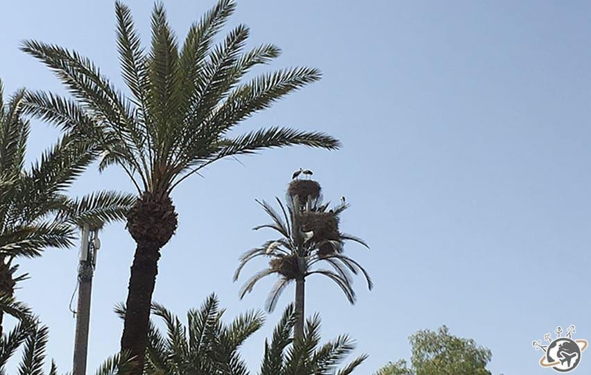 un nid de cigognes à Marrakech