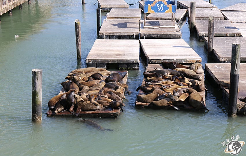 Les lions de mer de Pier 39 à San Francisco